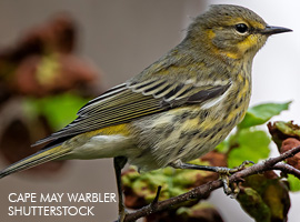 Confusing Fall Warbler Question #1