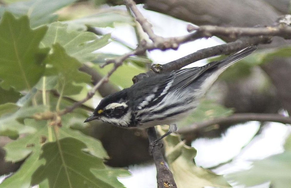 Black-throated Gray Warbler by Steve Ryan / Wikipedia Commons
