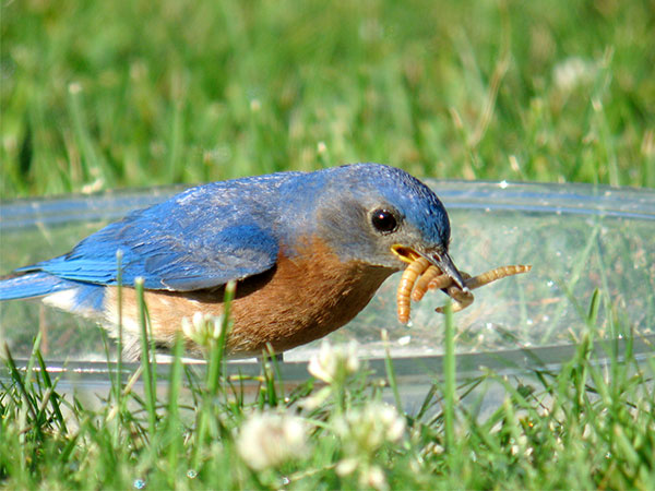 Tips on feeding bluebirds include offering mealworms.