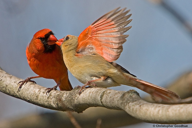 """The """"cardinal kiss"""", photo by Christopher Goodhue"""
