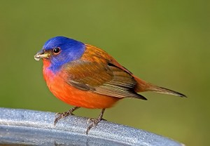 Painted bunting by Robert Strickland.