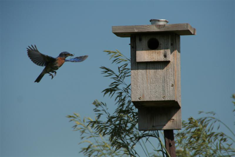 A bluebird carries an insect back to its nestbox. Photo by Brenda Dodge.