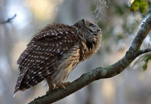 The barred owl is one of many winter birds of Iowa. Photo by Robert Strickland.