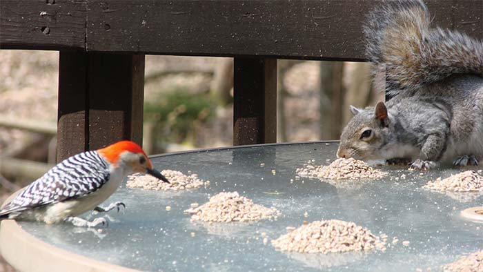 Squirrels are a common pest at bird feeders. In our tips below, we suggest ways to deal with the furry menace. Photo by Sandra Myers.