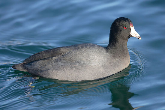 American Coot (Photo: Wikimedia Creative Commons)