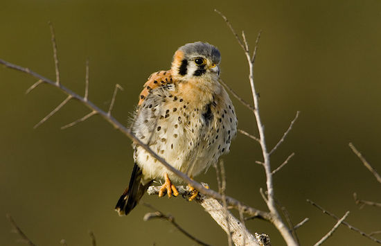 American Kestrel (Photo by USFWS)
