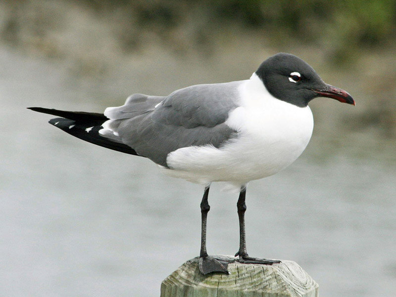 Laughing gull photo by  Dick Daniels / Wikimedia Commons