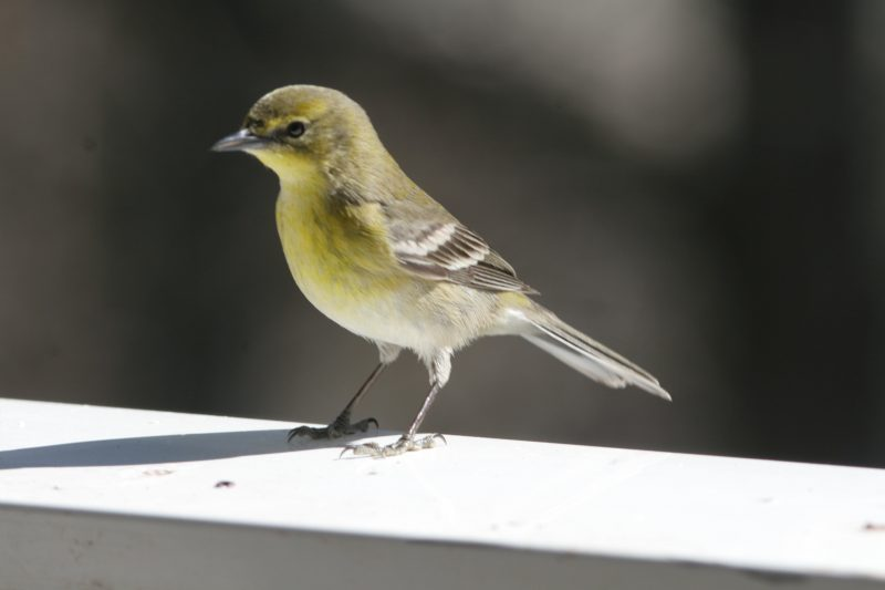 Pine warbler sitting at window