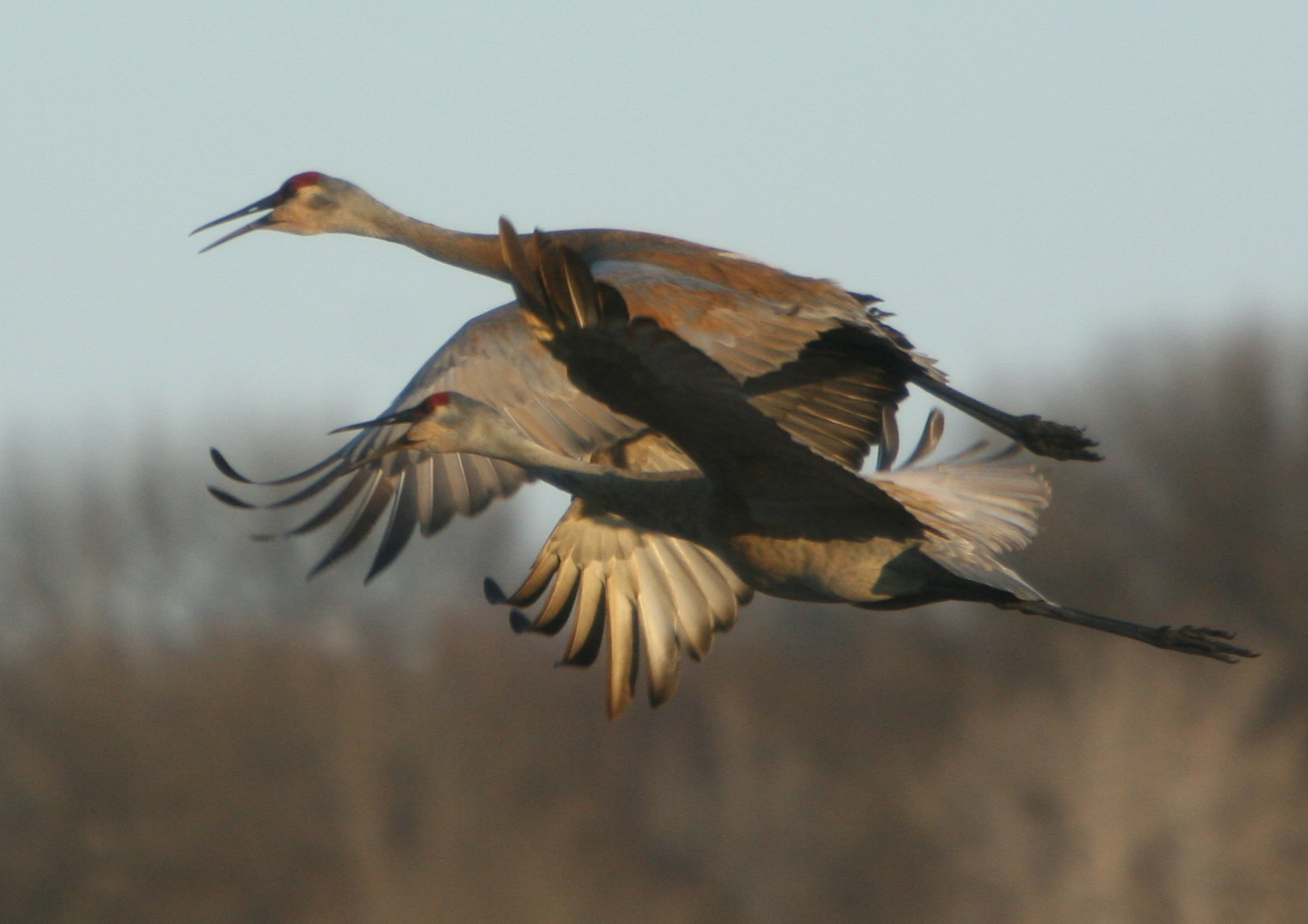 Sandhill Cranes. Photo by Duane McDowell