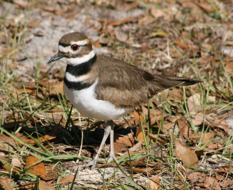 Killdeer by Carrol Betts