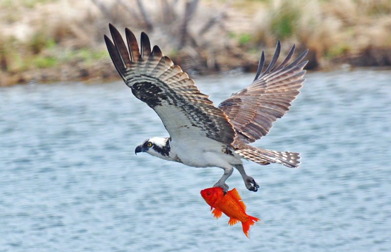Osprey with goldfish. Photo by Dale Southern.