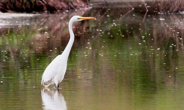 Great Egret (Photo by Kyle Carlsen)
