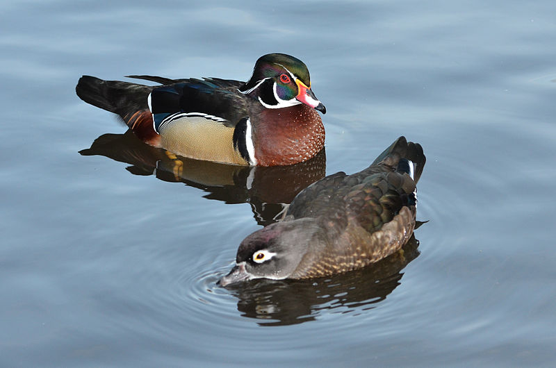 Wood Duck, male and female, by Olaf Oliviero Riemer