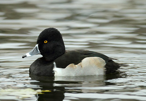 The ring-necked duck is one of many Tennessee winter birds.