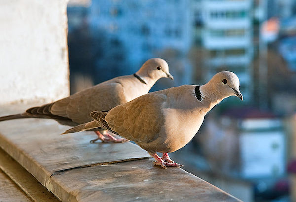 Eurasian Collared-Doves (Photo: Horia Varlan/Wikimedia)