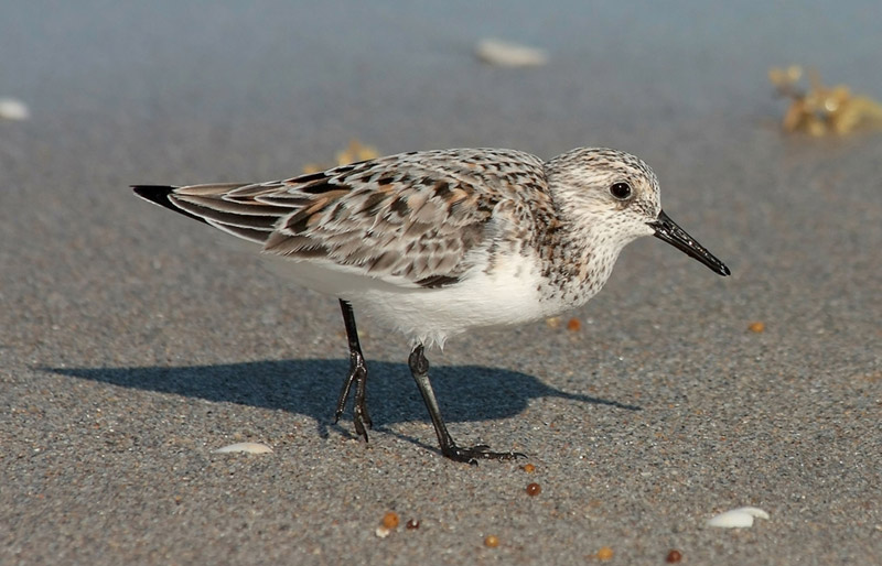 Sanderling photo by Ianare Sevi / Wikimedia Commons