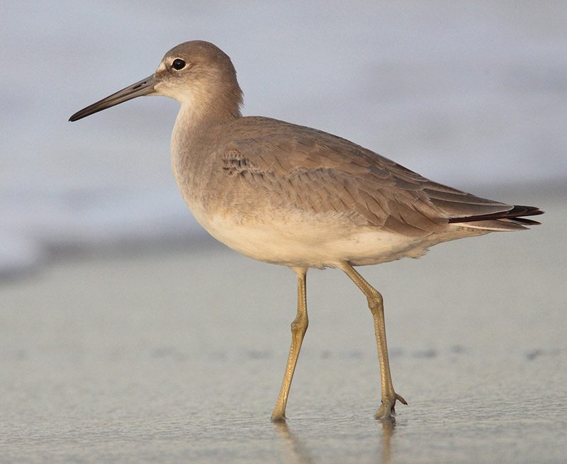 Willet photo by MDF / Wikimedia Commons.
