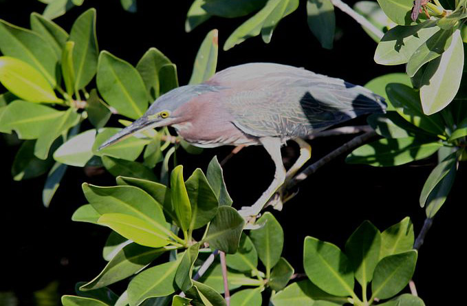 Green heron, photo by Everglades NPS / Wikimedia.