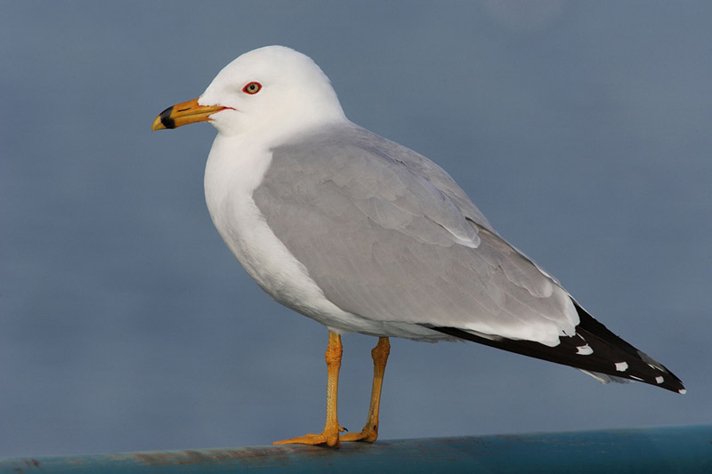 Ring-billed gull, photo by Wikimedia Commons.