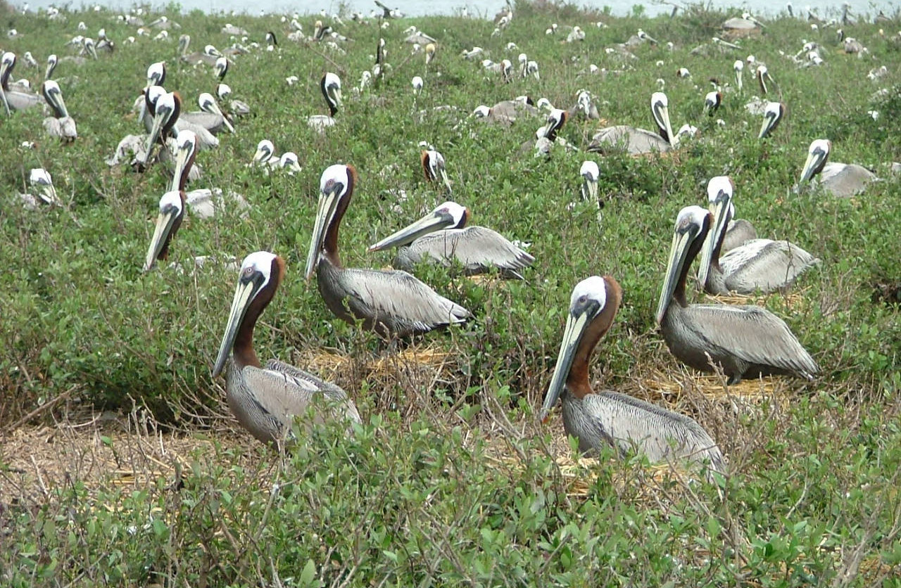 Brown pelicans nesting at the Breton National Wildlife Refuge in Louisiana. Photo by USFWS
