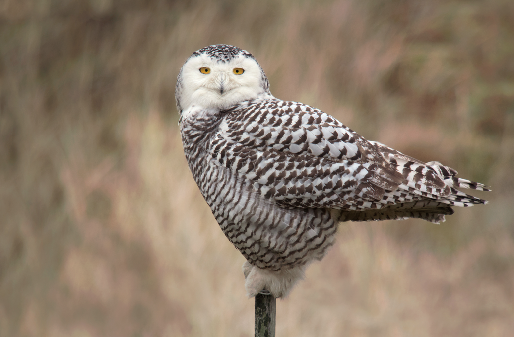 Find snowy owl sightings near you this winter. Photo by Frank Vassen / Wikimedia