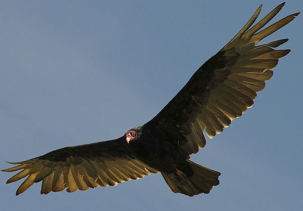 Turkey Vulture (Photo: USFWS)
