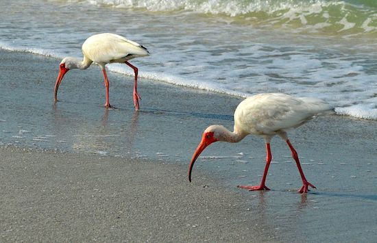 White Ibis (Photo by Jean-Lou Justine)