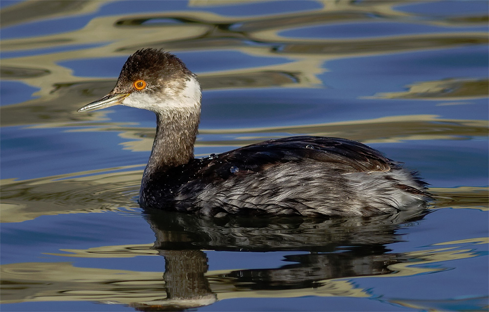 Eared grebe photo by Frank Schulenburg / Wikimedia Commons