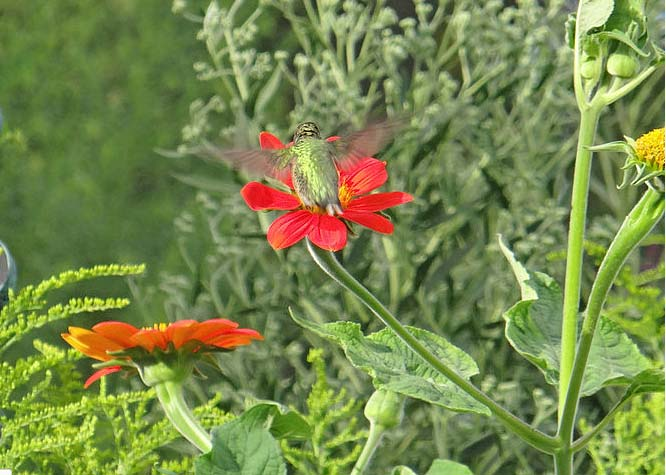 Gardening Tips for Hummingbirds Tips for Your Region Bird