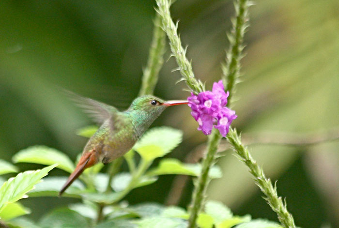Rufous-tailed Hummingbird in Honduras. Photo by Julie Zickefoose.