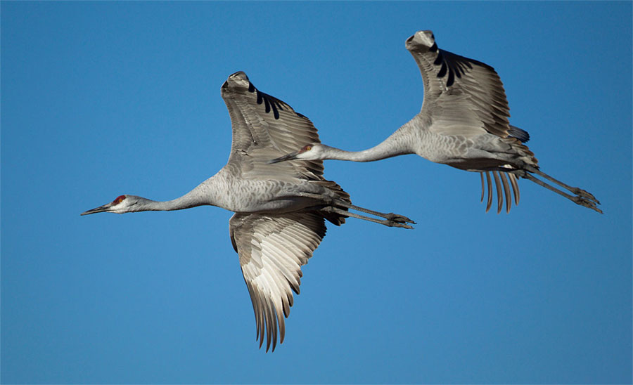 Sandhill cranes flying at Bosque del Apache National Wildlife Refuge, New Mexico, United States. Photo by M. Kainickara / Wikimedia.