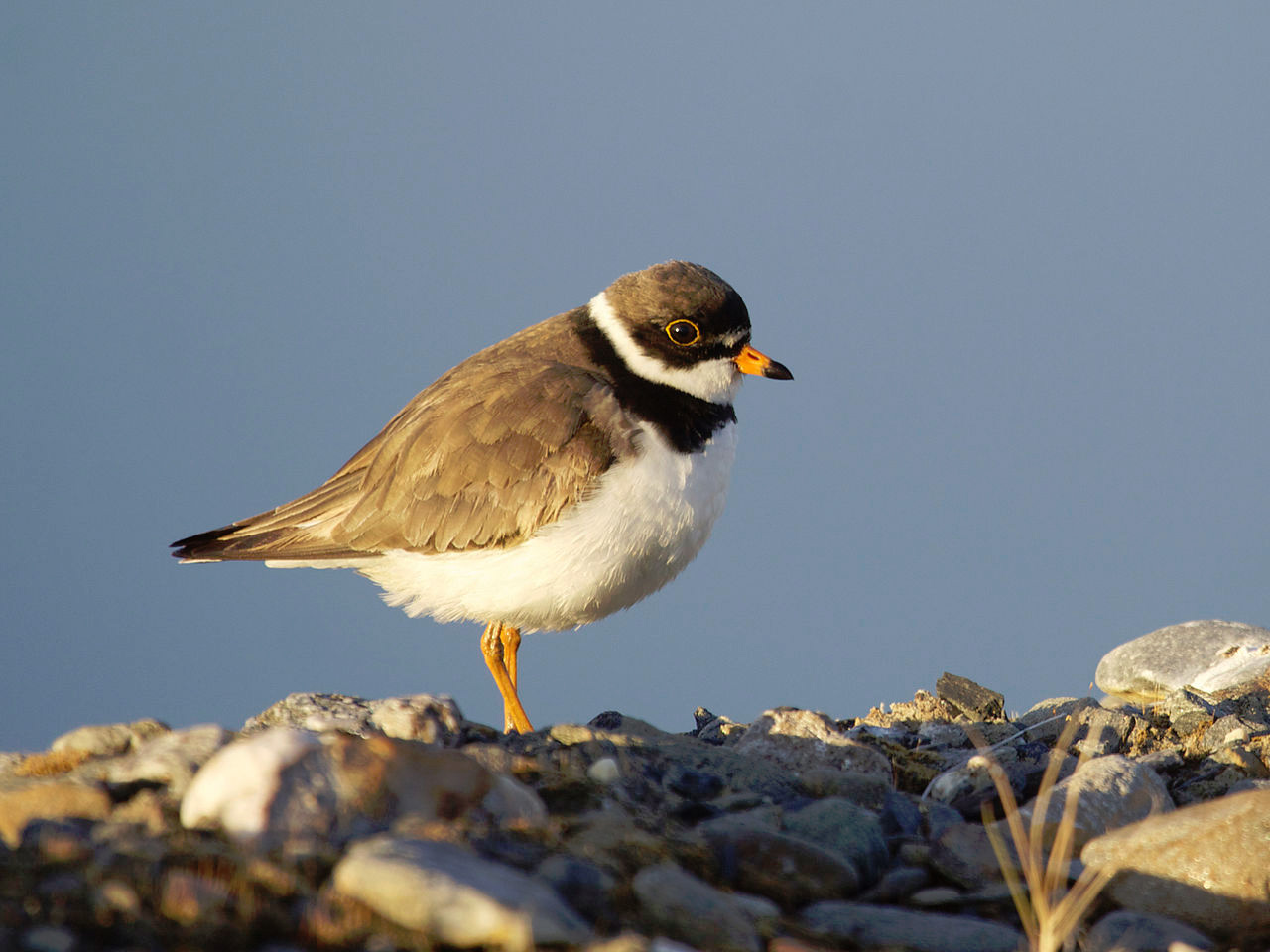 Semipalmated plover photo by Gregory Smith / Wikimedia