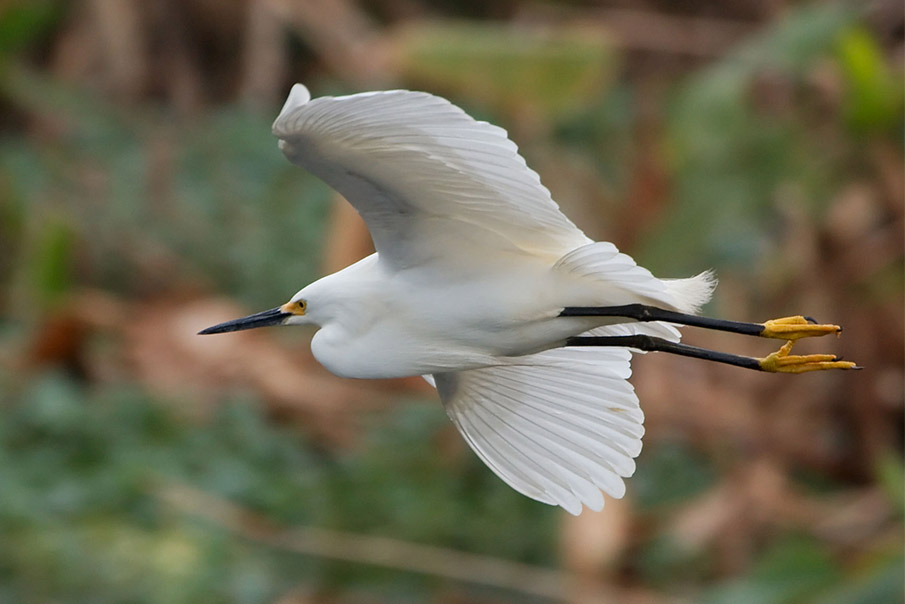 A snowy egret flies across a wooded background.