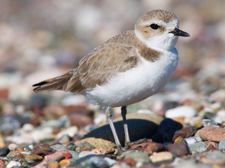 Snowy plover photo by Michael L. Baird / Wikimedia