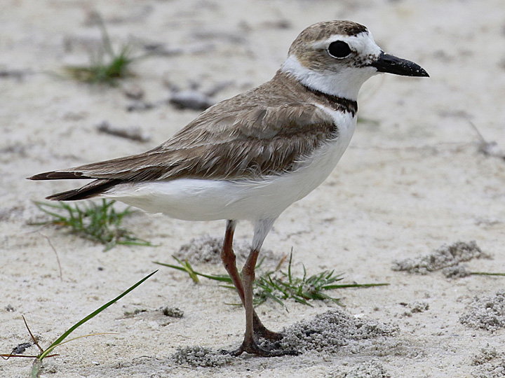 Wilson's plover photo by Matt VanWallene / Wikimedia