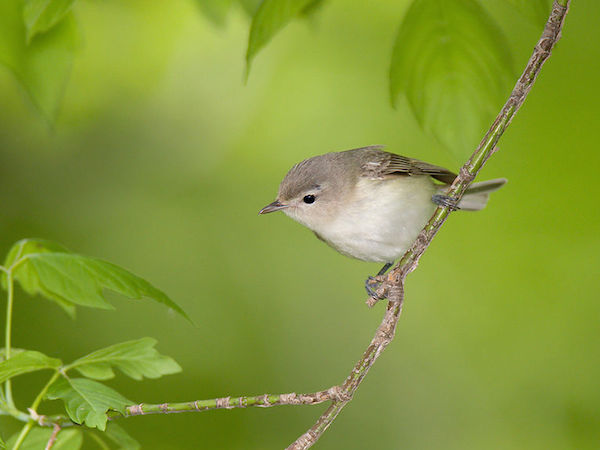 Warbling Vireo (Photo: William H. Majoros / Wikimedia)