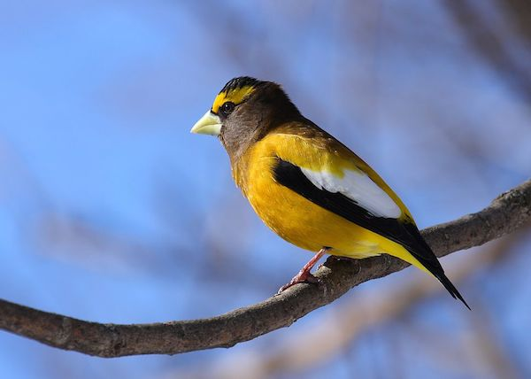 Evening Grosbeak (Photo: Wikimedia Creative Commons)
