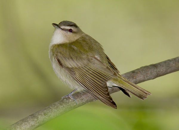 Red-eyed Vireo (Photo: William H. Majoros / Creative Commons)