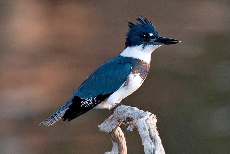 Male belted kingfisher. Photo by Kevin Cole / Wikimedia Commons.