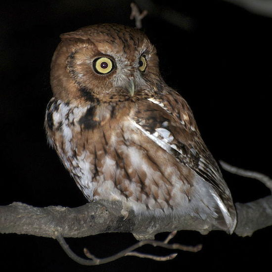 Eastern Screech-Owl, red phase (Photo: Wikimedia)