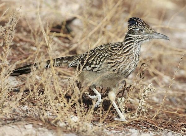 Greater Roadrunner (Photo: Lip Kee Yap / Wikimedia)