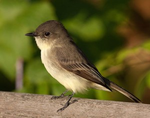 Eastern Phoebe (Photo: John Benson/Creative Commons)