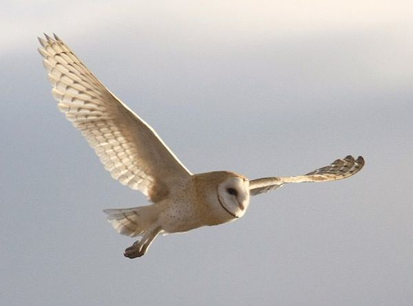 Barn Owl (Photo: Wikimedia Creative Commons)