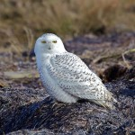 "During late December 2013, an immature snowy owl was reported at Little Talbot Island State Park on the Atlantic coast, just north of Jacksonville, Florida. BWD contributor Harry B. Hooper describes his ""chase"" for this elusive visitor.Snowy Owl (Photo: David Syzdek/Wikimedia)"
