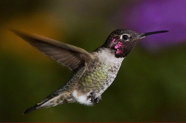 Anna's Hummingbird (Photo: Pat Durkin/Creative Commons)