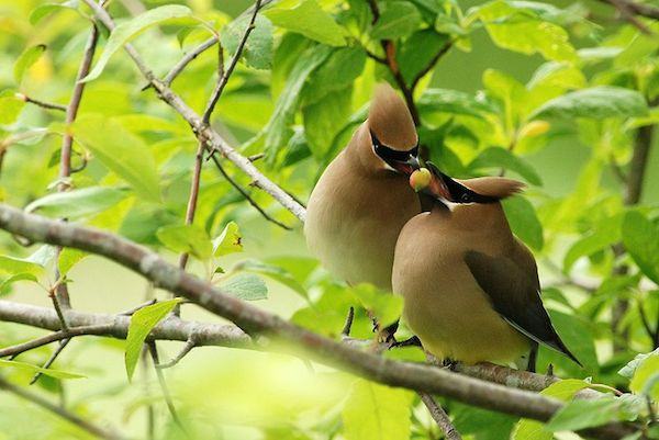 Cedar Waxwings (Photo: Creative Commons)