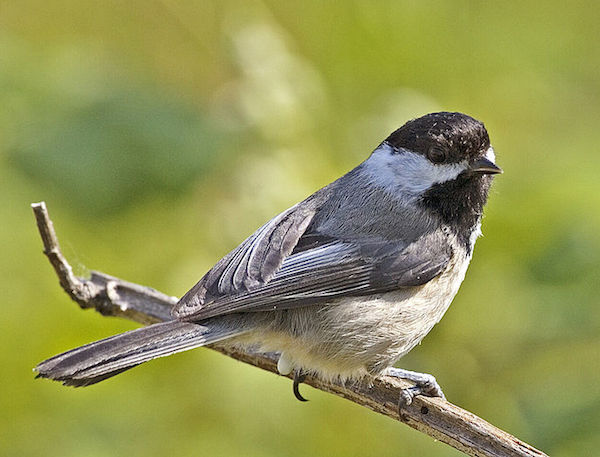 Black-capped Chickadee (Photo: Alan D. Wilson / Wikimedia)