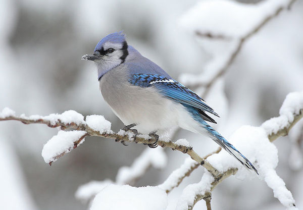 Blue Jay (Photo: Creative Commons)