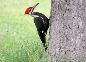 Pileated Woodpecker (Photo: Dominic Sherony/Creative Commons)