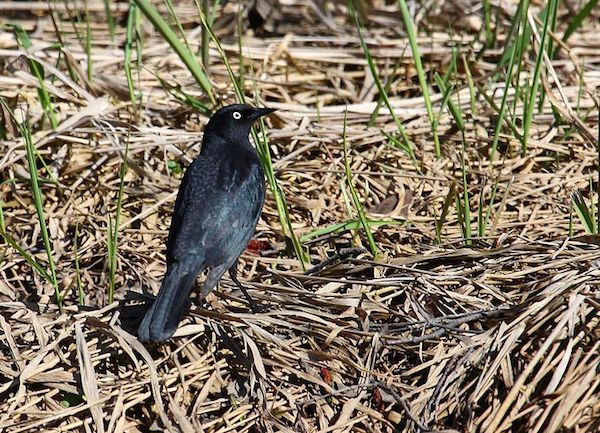 Rusty Blackbird (Photo: Creative Commons)